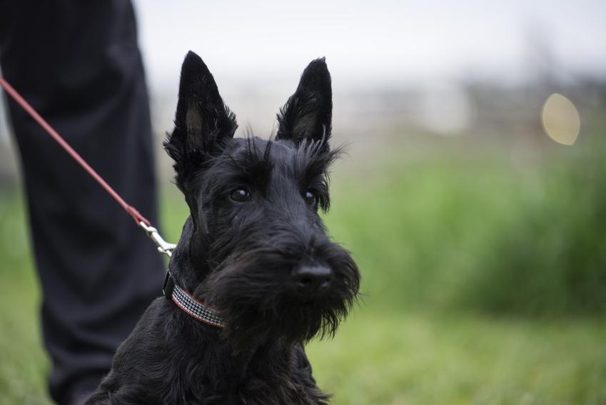 Pies rasy terier szkocki na smyczy podczas saceru oraz jego charakter i opis