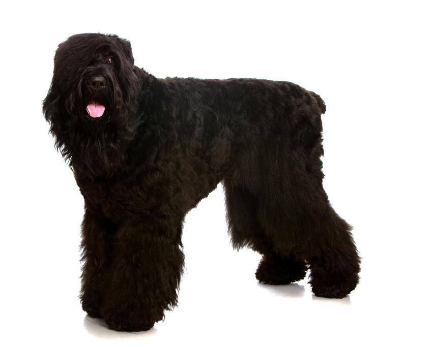 Pies rasy czarny terier rosyjski na białym tle, a także jego usposobienie i hodowla