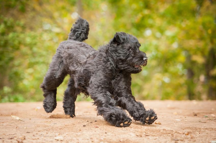 Pies rasy czarny terier rosyjski podczas spaceru w parku oraz jego charakter i cena