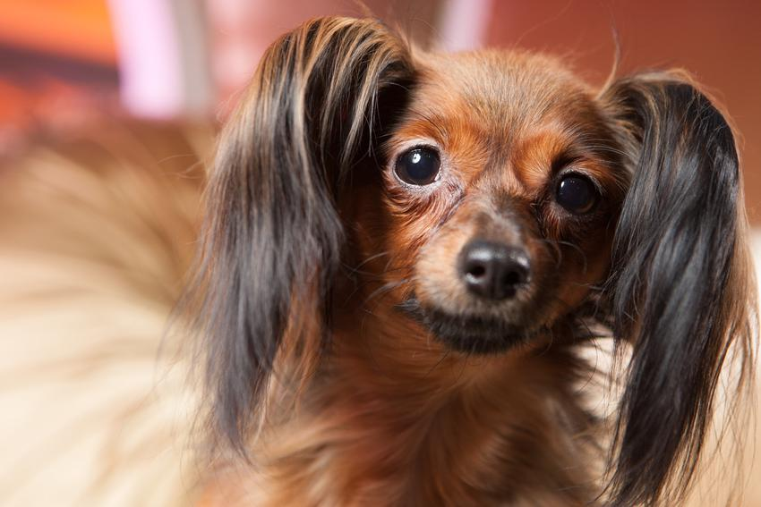 Pies rasy toy rosyjski długowłosy oraz jego usposobienie i hodowla