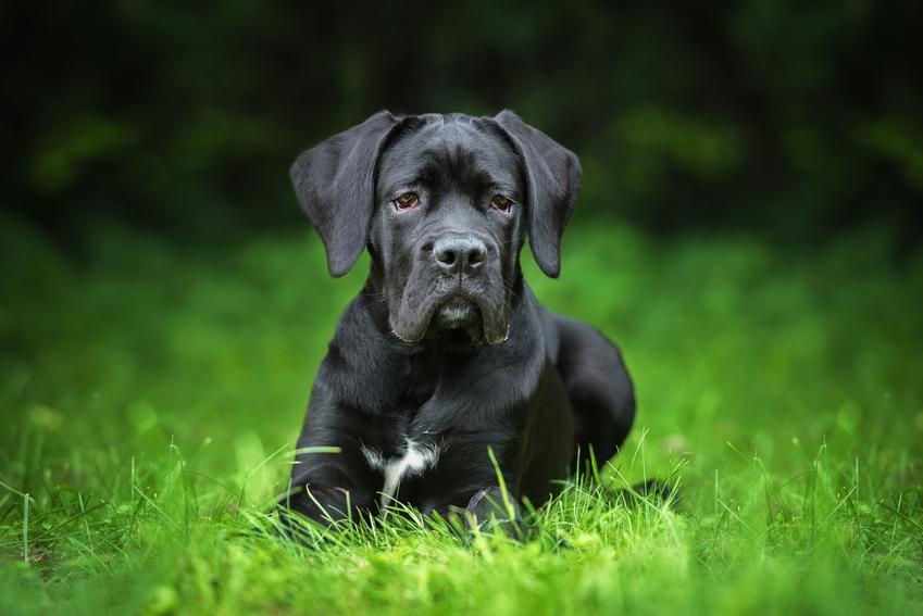 Pies rasy cane corso italiano siedzący w trawie, a także jego hodowla i cena