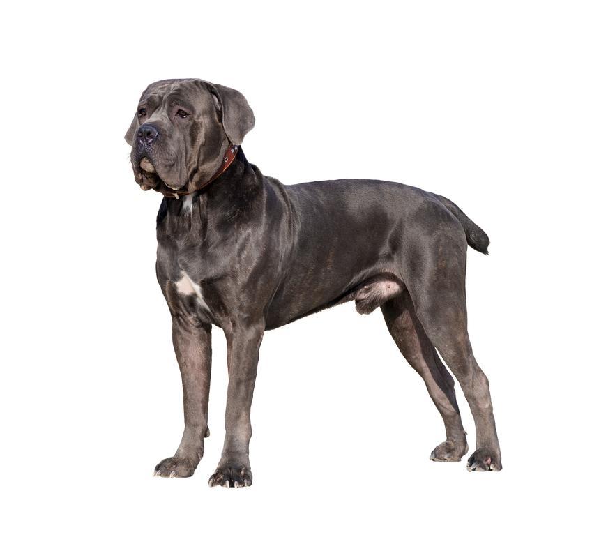 Pies rasy cane corso italiano stojący na białym tle oraz jego opis i usposobienie
