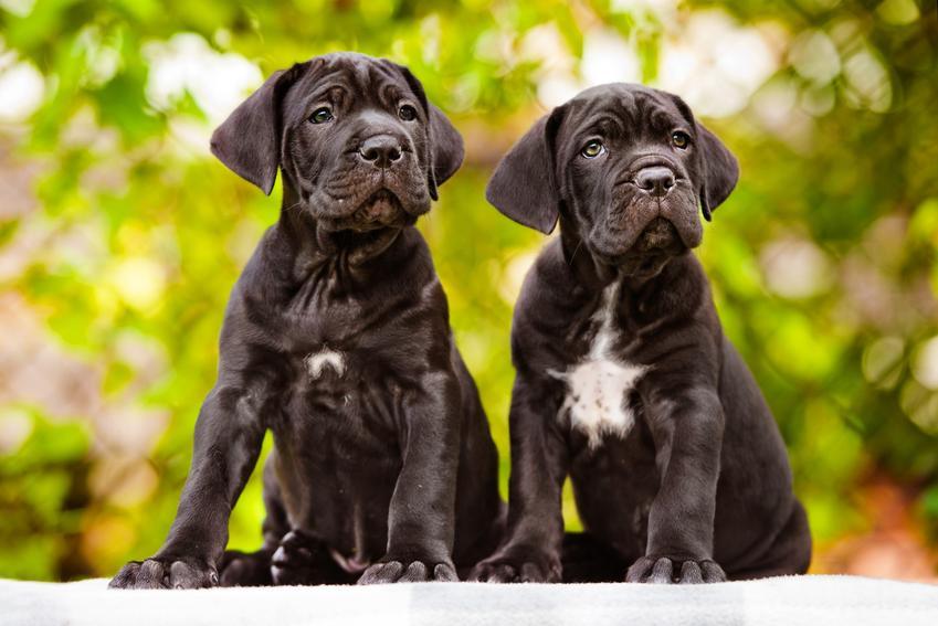 Dwa małe psy rasy cane corso italiano na tle zieleni, czyli hodowla i ceny