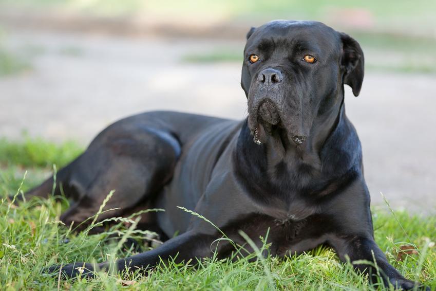Pies rasy cane corso siedzący na trawie, a także usposobienie cane corso i charakter