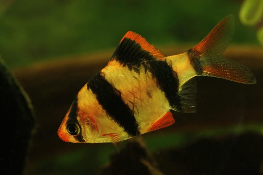 Ryba akwariowa brzanka mszysta, a także jej hodowla, cena i rozmnażanie