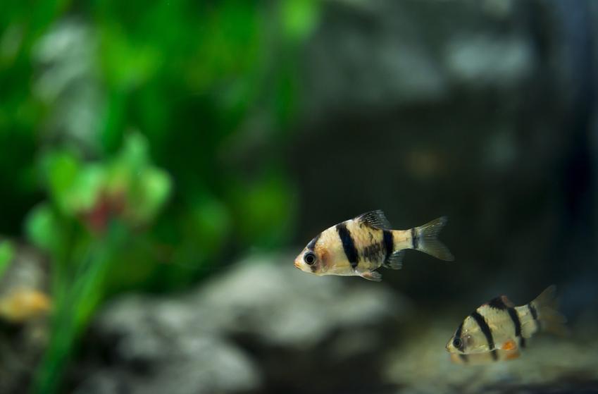 Małe rybki z gatunku brzanka mszysta w akwarium oraz ich wymagania i cena