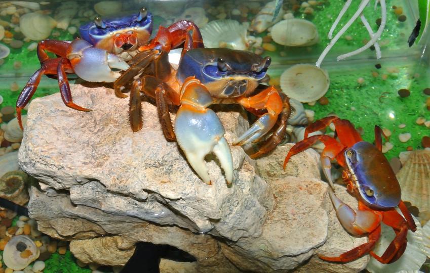 Kraby tęczowe na kamieniu w akwarium oraz krab tęczowy, Cardisoma armatum i jego hodowla