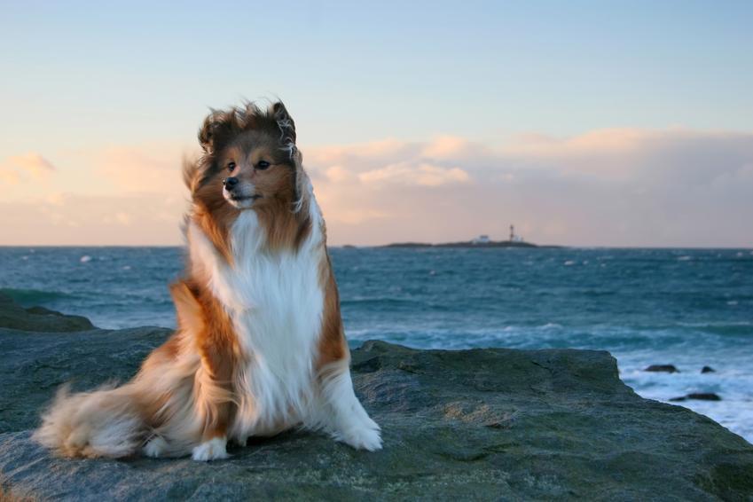 Pies rasy owczarek szetlandzki na tle wody, a także jego charakter i cena
