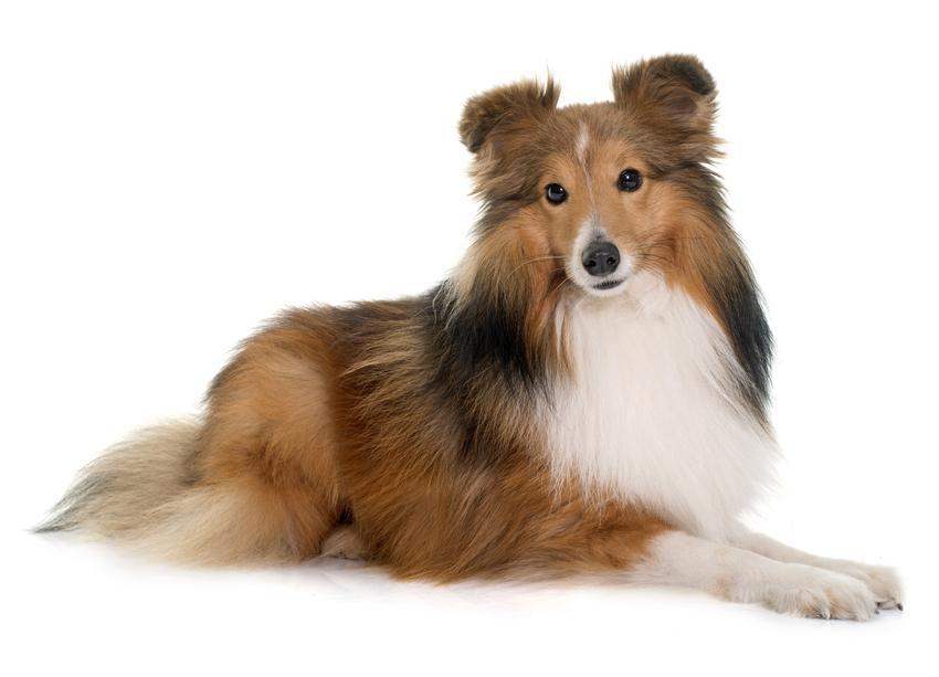 Pies rasy owczarek szetlandzki na siedzący na białym tle, a także jego charakter i cena
