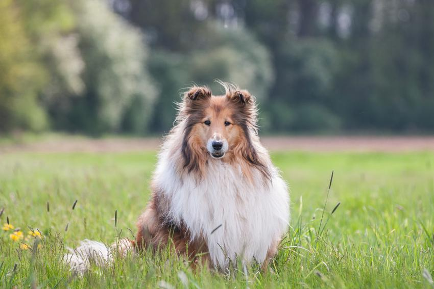 Pies rasy owczarek szkocki długowłosy siedzący w trawie, a także jego hodowla i charakter