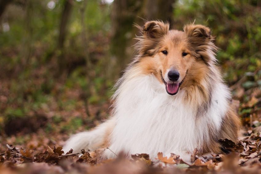Pies rasy owczarek szkocki długowłosy leżący w liściach, a także jego usposobienie i cena