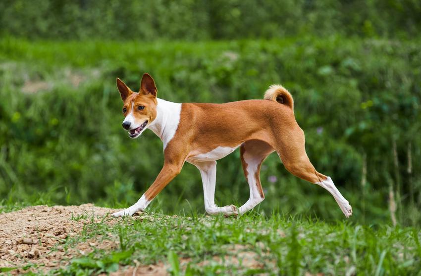 Pies rasy Basenji podczas spaceru na tle zieleni, a także jego hodowla i cena