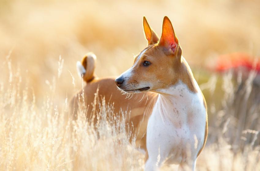 Pies rasy Basenji buszujący w zbożu, a także jego hodowla i cena