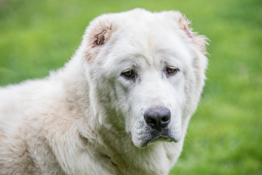 Pies rasy owczarek środkowoazjatycki na tle zieleni oraz charakter owczarka środkowoazjatyckiego