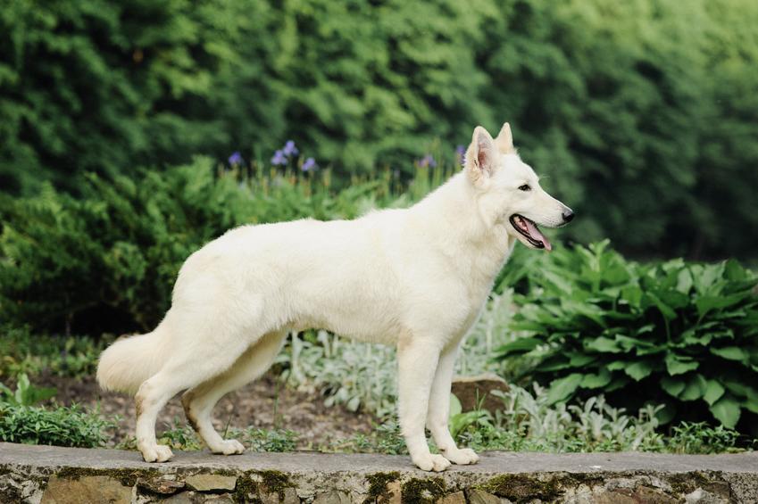 Pies rasy owczarek biały szwajcarski na tle zieleni oraz jego charakter i cena