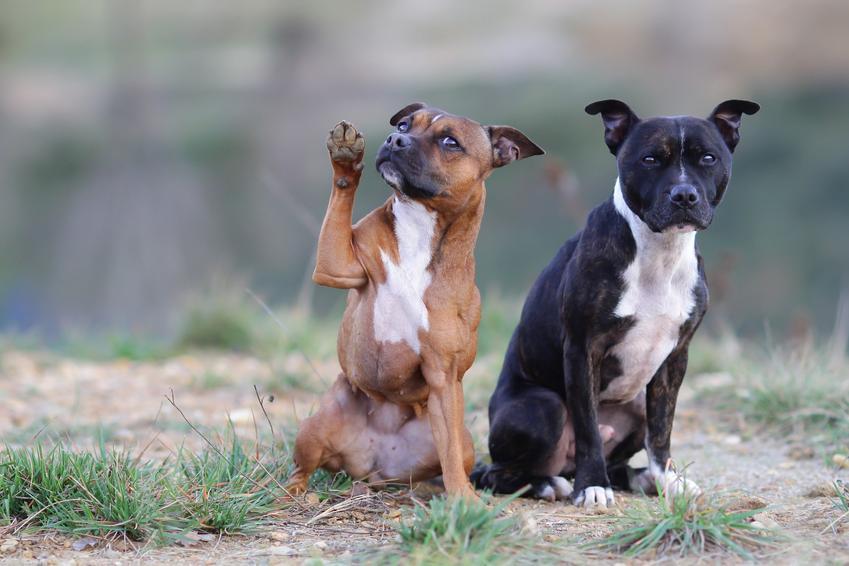 Dwa psy na łonie natury, a także umaszczenie staffordshire bull terriera i jego charakter