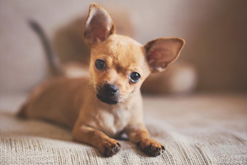 Chiuhuaha leżący na łózku w sypialni oraz małe psy i porady, jak często karmić szczeniaka