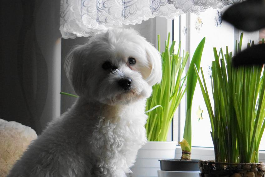 Mały maltańczyk w mieszkaniu w bloku, a także porady, jak często karmić szczeniaka tej rasy