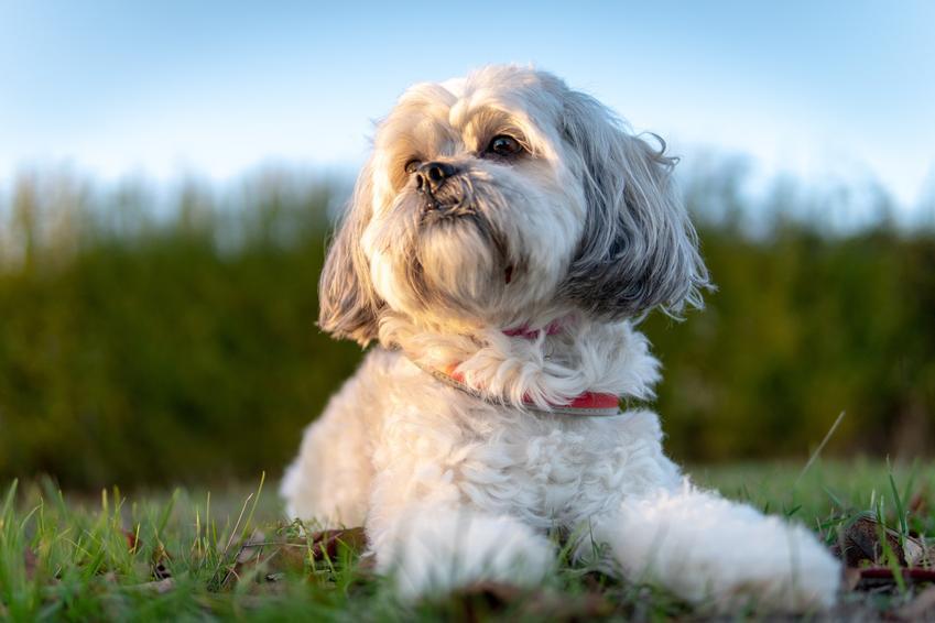Shi-tzu podczas spaceru siedzący na trawie jako mały pies do mieszkania