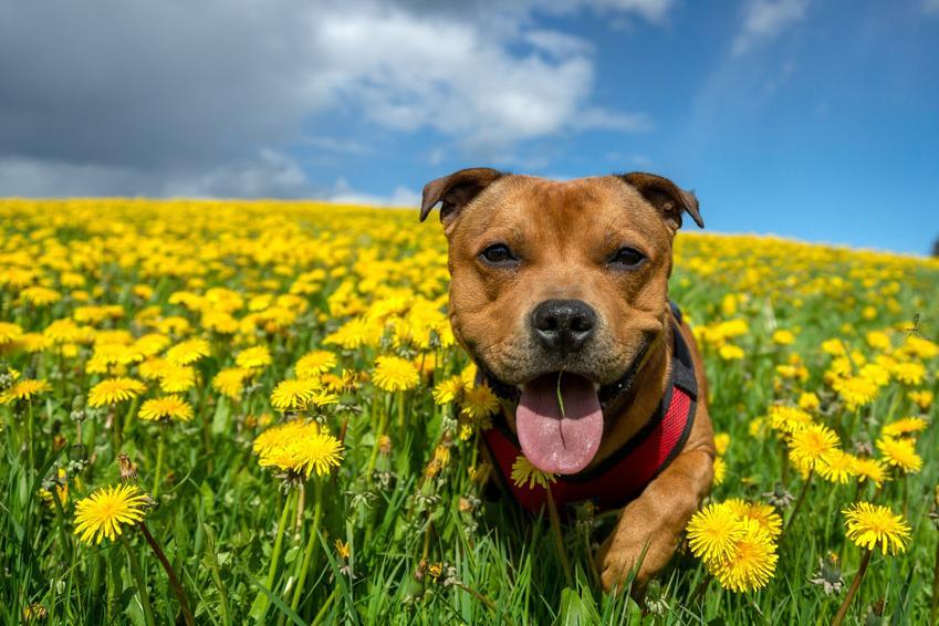 Pies w żółtych kwiatach, a także usposobienie staffordshire bull terriera