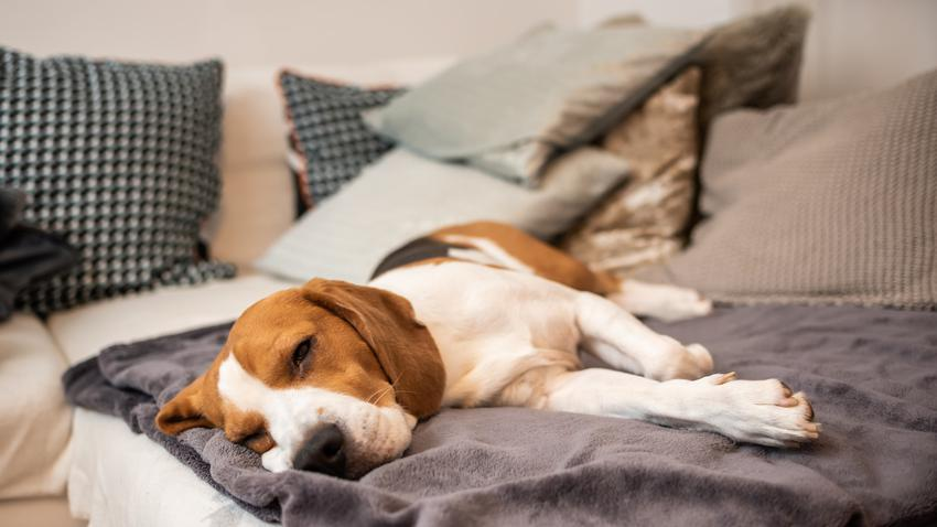 Chory pies leżący na dywanie, a także choroba niewydolność nerek u psa