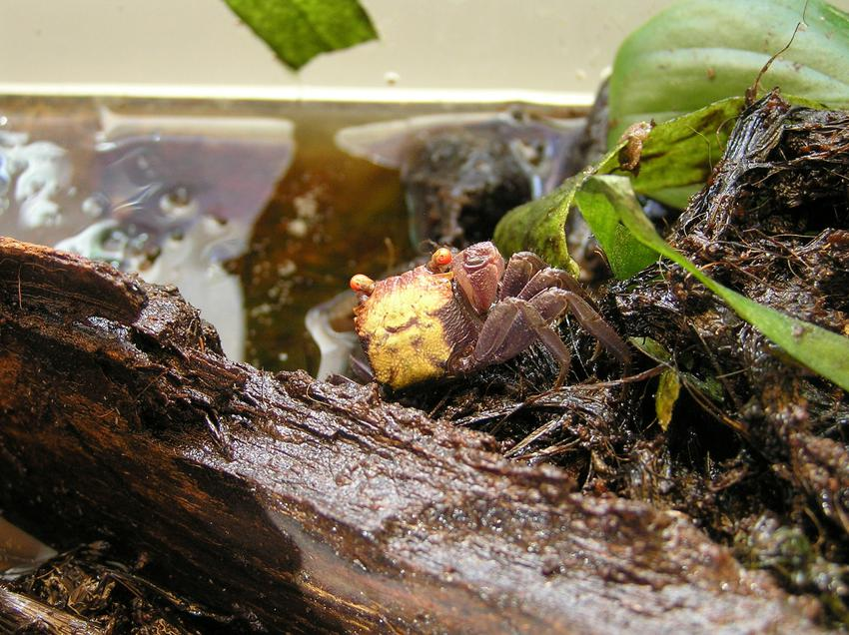 Krab wampir, Geosesarama sp. Vampire w akwarium, a także jego żywienie i rozmnażanie