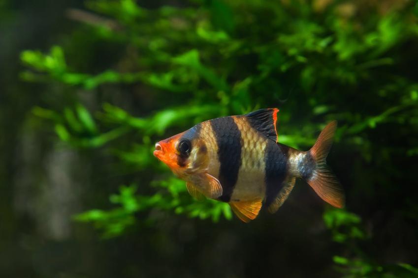 Rybka brzanka sumatrzańska, Puntigrus tetrazona w akwarium oraz jej hodowla