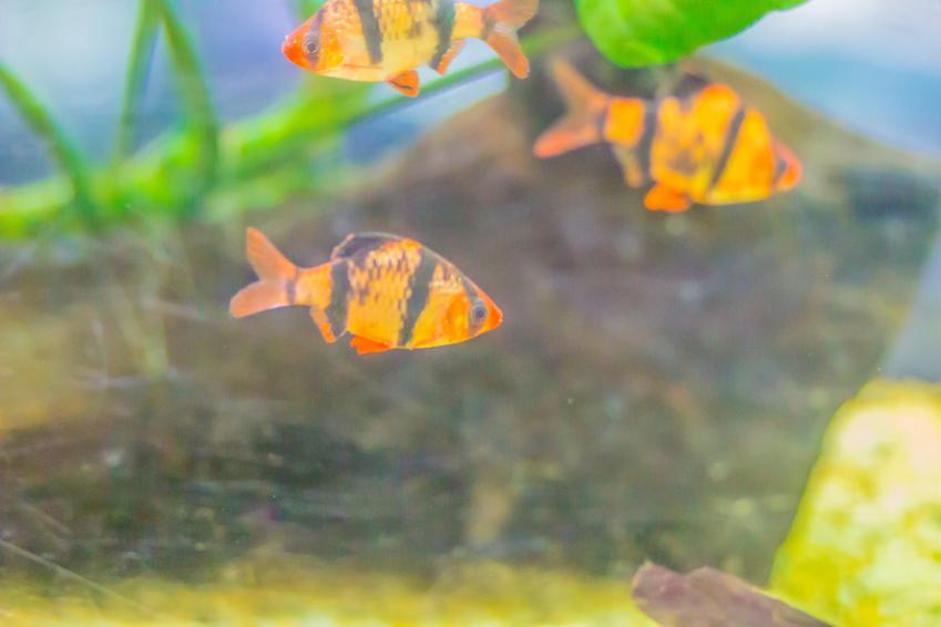 Rybki z gatunku brzanka sumatrzańska, Puntigrus tetrazona w akwarium oraz ich wymagania