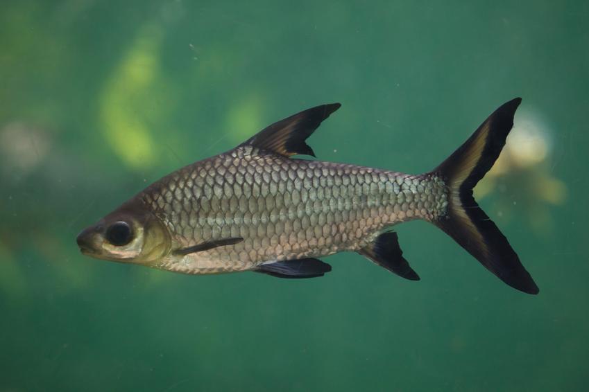 Rybka akwariowa brzanka rekinia, Balantiocheilos melanopterus, a także jej charakter i opis