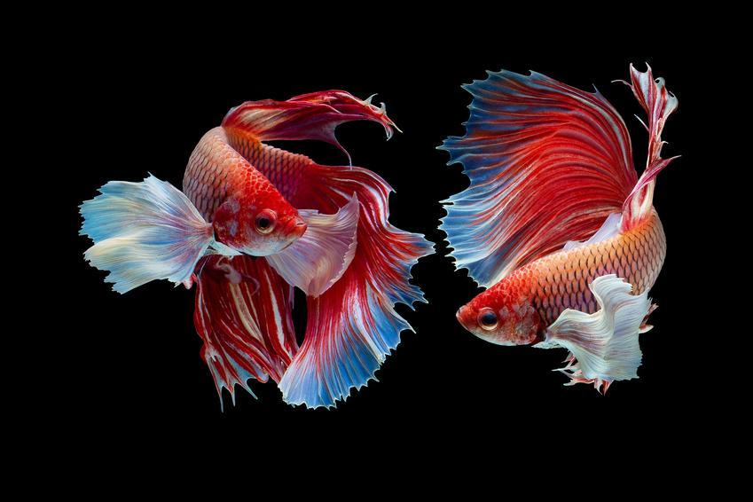 Dwie rybki z gatunku samica bojownika na czarnym tle, a także opis i wymagania