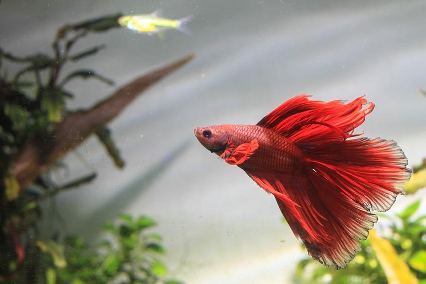 Czerwona rybka samica bojownika w akwarium, a także jej hodowla i wymagania