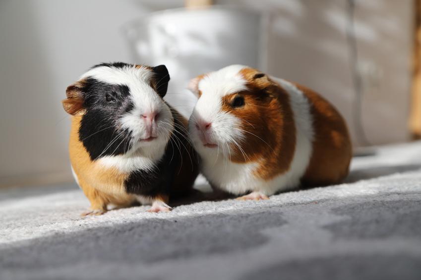 Samiec i samica świnki moskiej, czyli porady, jak rozpoznać płeć świnki morskiej