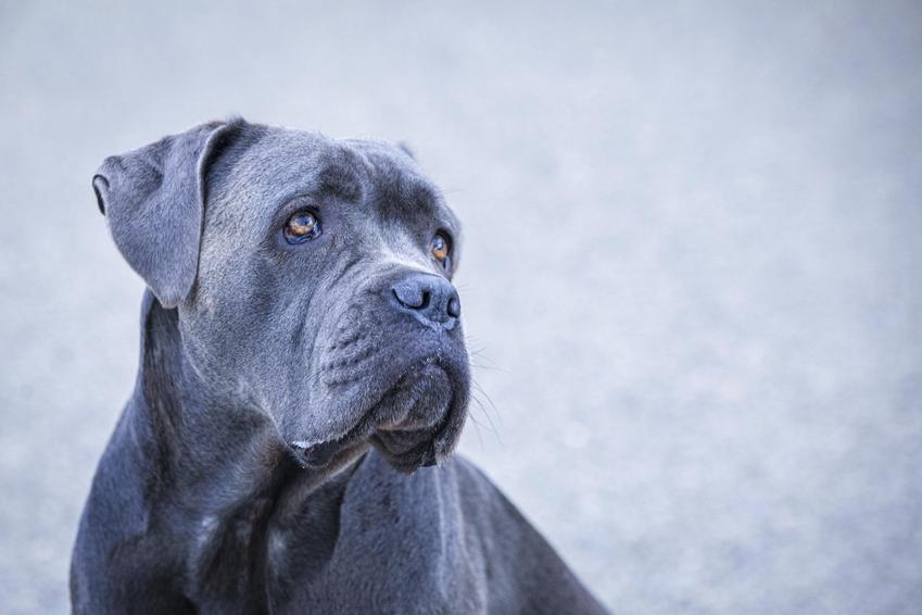 Pies rasy cane corso blue na szarym tle, a także jego charakter i hodowla