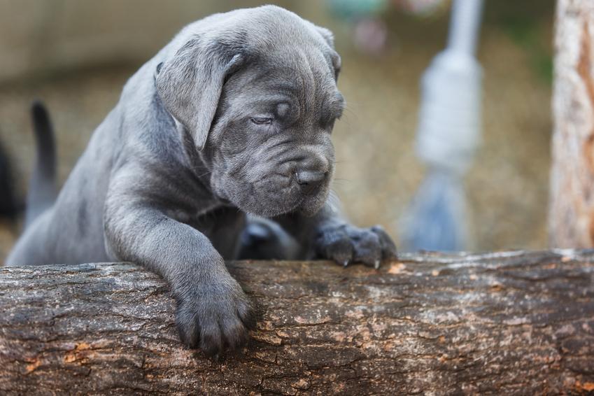 Mały pies cane corso blue niebieski na pniu drzewa oraz charakter i cena