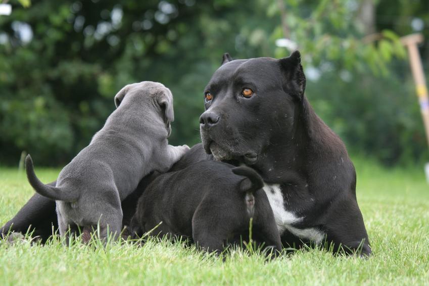 Duży i mały pies rasy cane corso, a także szczeniaki cane corso, cena i hodowla