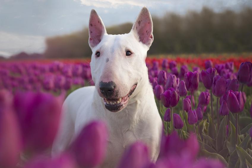 Pies rasy bull terrier wśród kwiatów i inne niebezpieczne rasy psów agresywnych