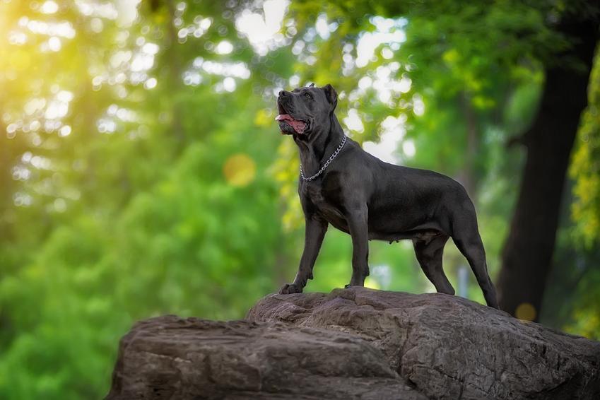 Pies rasy cane corso na głazie w lesie i inne niebezpieczne rasy psów agresywnych