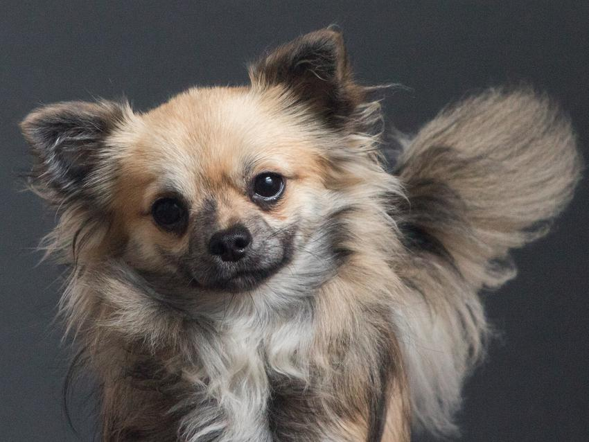 Pies rasy chihuahua na szarym tle i inne niebezpieczne rasy psów agresywnych