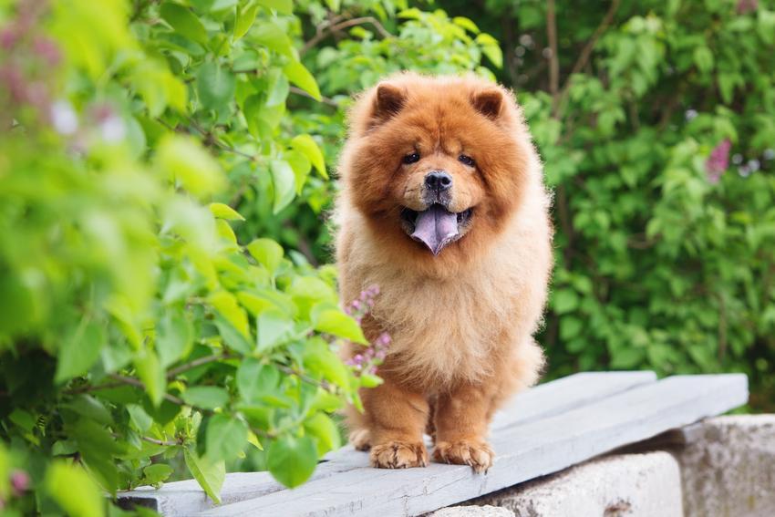 Pies rasy chow chow na tle zieleni i inne niebezpieczne rasy psów agresywnych