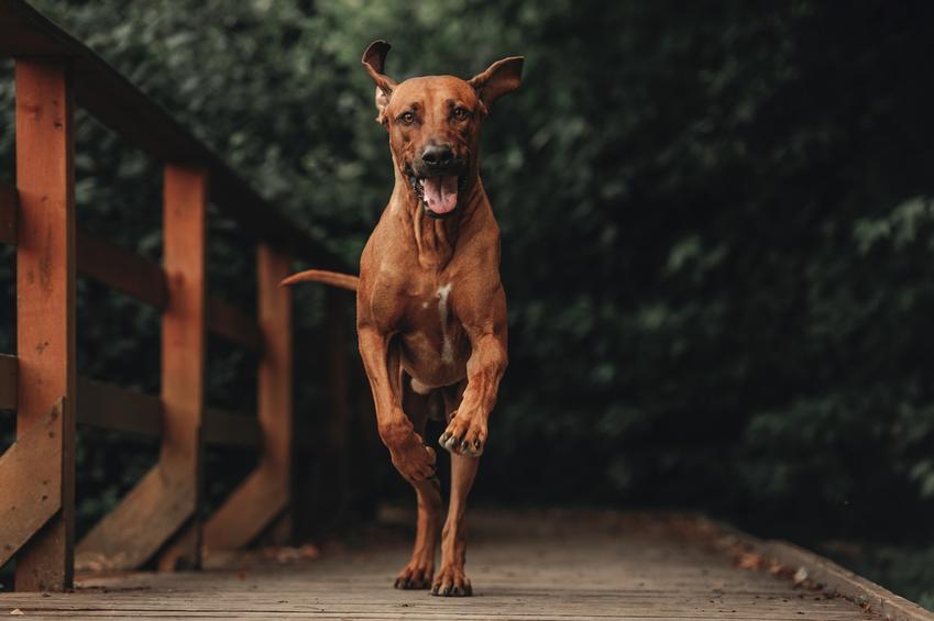 Pies rasy Rhodesian Ridgeback w czasie spaceru i inne niebezpieczne rasy psów agresywnych