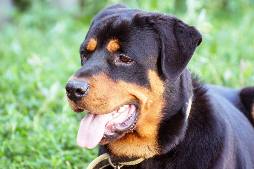 Pies rasy rotweiller na tle zieleni i inne niebezpieczne rasy psów agresywnych