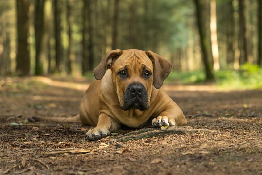 Pies rasy tosa inu leżący w lesie i inne niebezpieczne rasy psów agresywnych