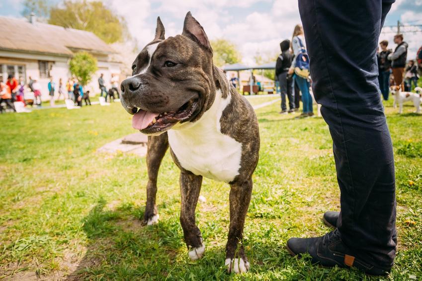 Pies rasy american staffordshire terrier na trawie i inne groźne rasy psów w Polsce, czyli lista niezbiecznych ras