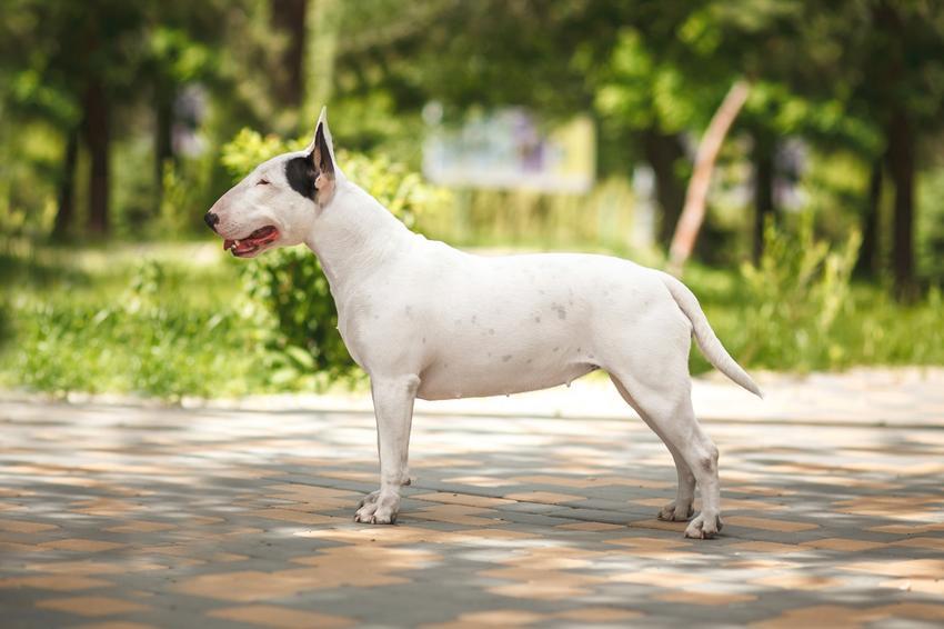 Pies rasy bull terrier podczas spaceru i inne groźne rasy psów w Polsce, czyli lista niezbiecznych ras