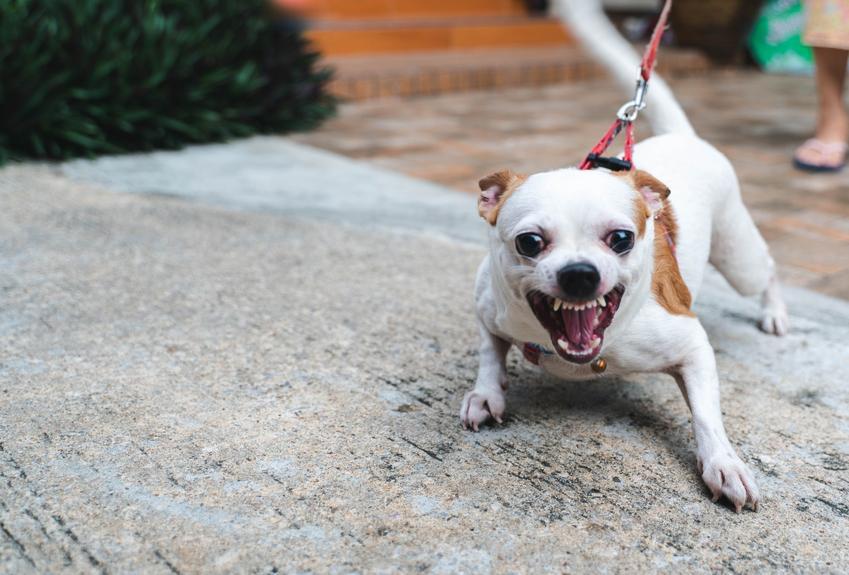 Pies rasy chihuahua leżący na dywanie i inne groźne rasy psów w Polsce, czyli lista niezbiecznych ras