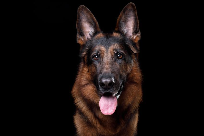Pies rasy owczarek niemiecki na czarnym tle i inne groźne rasy psów w Polsce, czyli lista niezbiecznych ras