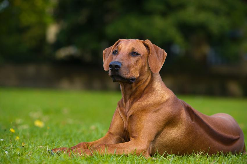Pies rasy rhodesian ridgeback na trawie i inne groźne rasy psów w Polsce, czyli lista niezbiecznych ras