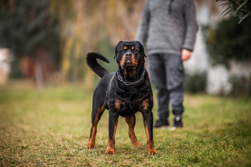 Pies rasy rottwiler podczas spaceru i inne groźne rasy psów w Polsce, czyli lista niezbiecznych ras