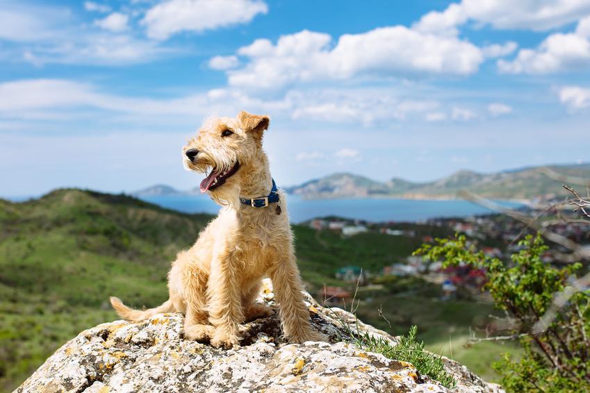 Pies rasy lakeland terrier na tle nieba, a także jego charakter i hodowla