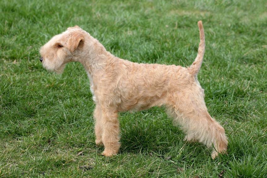 Pies rasy lakeland terrier stojący na trawniku oraz jego opis i charakter